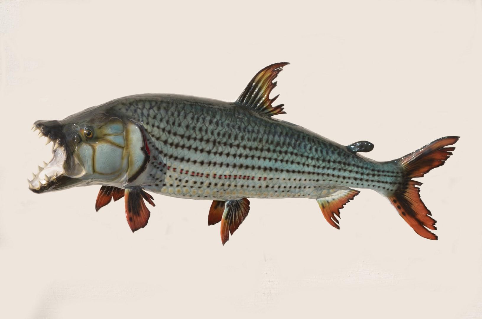 TIGER FISH 6.5KG.JPG
