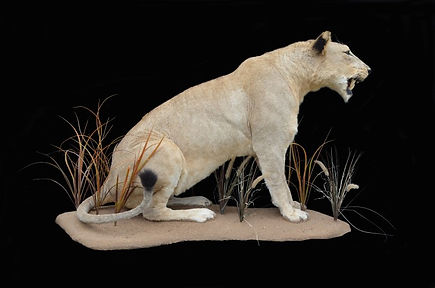 LION FEMALE SIT.jpg