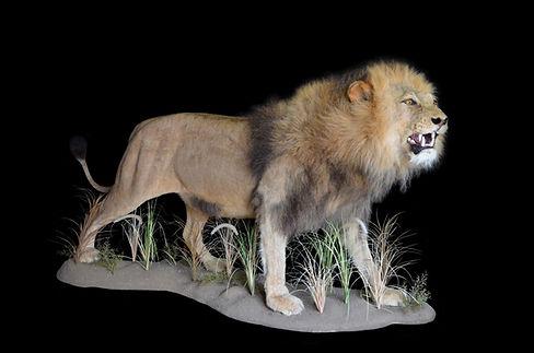 LION GROWL.JPG