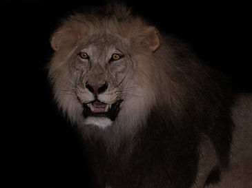 lion black 3.JPG