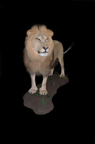 LION EWEE.JPG