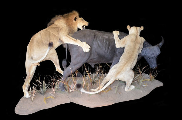 LION BUFF ACTION 3.JPG