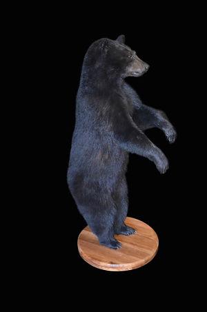 BLACK BEAR MALE.JPG