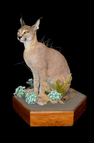 CARACAL SIT LARGE ON PED.JPG