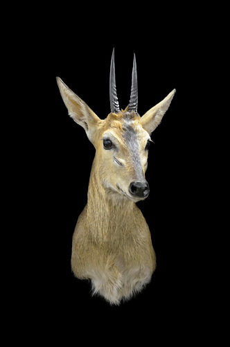 GREY DUIKER LEFT SHOULDER.JPG