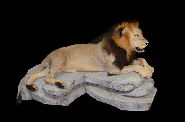 LION FULL LAY ON ROCK2.JPG