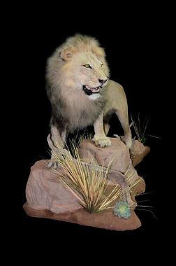LION YOUNGISH.JPG