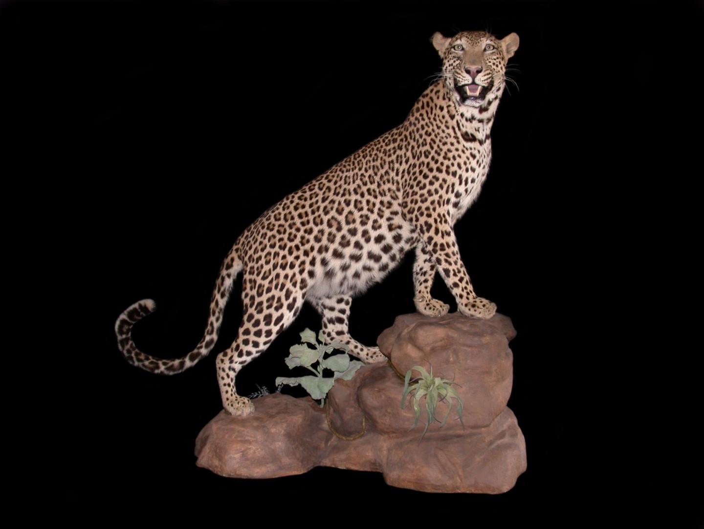 leopardfin.JPG