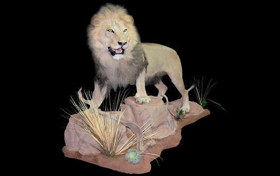 LION JOSHUA2.JPG