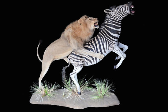 LION ZEBRA ACT 2.JPG
