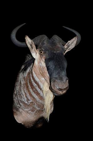 WHITE BRINDLED GNU.jpg