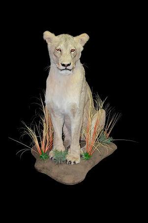 LION SIT FEM FACE FRONT.JPG