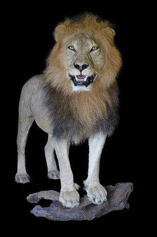 LION ON WOOD.jpg