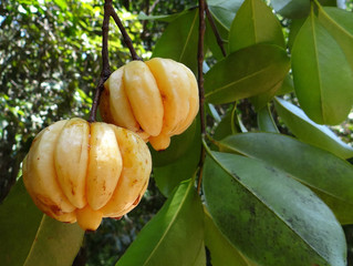 Garcinia Cambogia For Weight Loss - Does It Really Work?