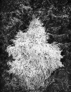 BÍLÝ STROM / perokresba na papíře 30x40cm / 2018  soukromá sbírka Švýcarsko       White tree / ink drawing on paper 30x40cm / 2018  private collection in Switzerland