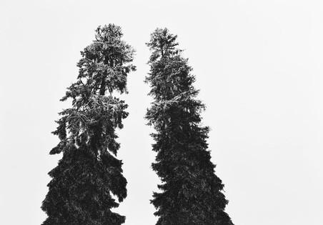 HORSKÉ STROMY / perokresba na papíře 100x70cm / 2017  soukromá sbírka Švýcarsko     Mountain trees / ink drawing on paper 100x70cm / 2017  private collection in Switzerland