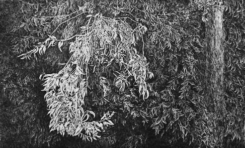 EUCALYPTUS / čárový lept 80x50cm / 2017     Eucalyptus / etching 80x50cm / 2017