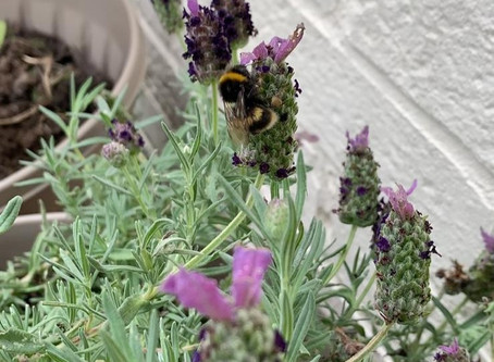 Bee kind, grow lavender!