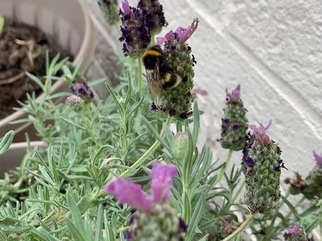 Bee kind, grow lavender!