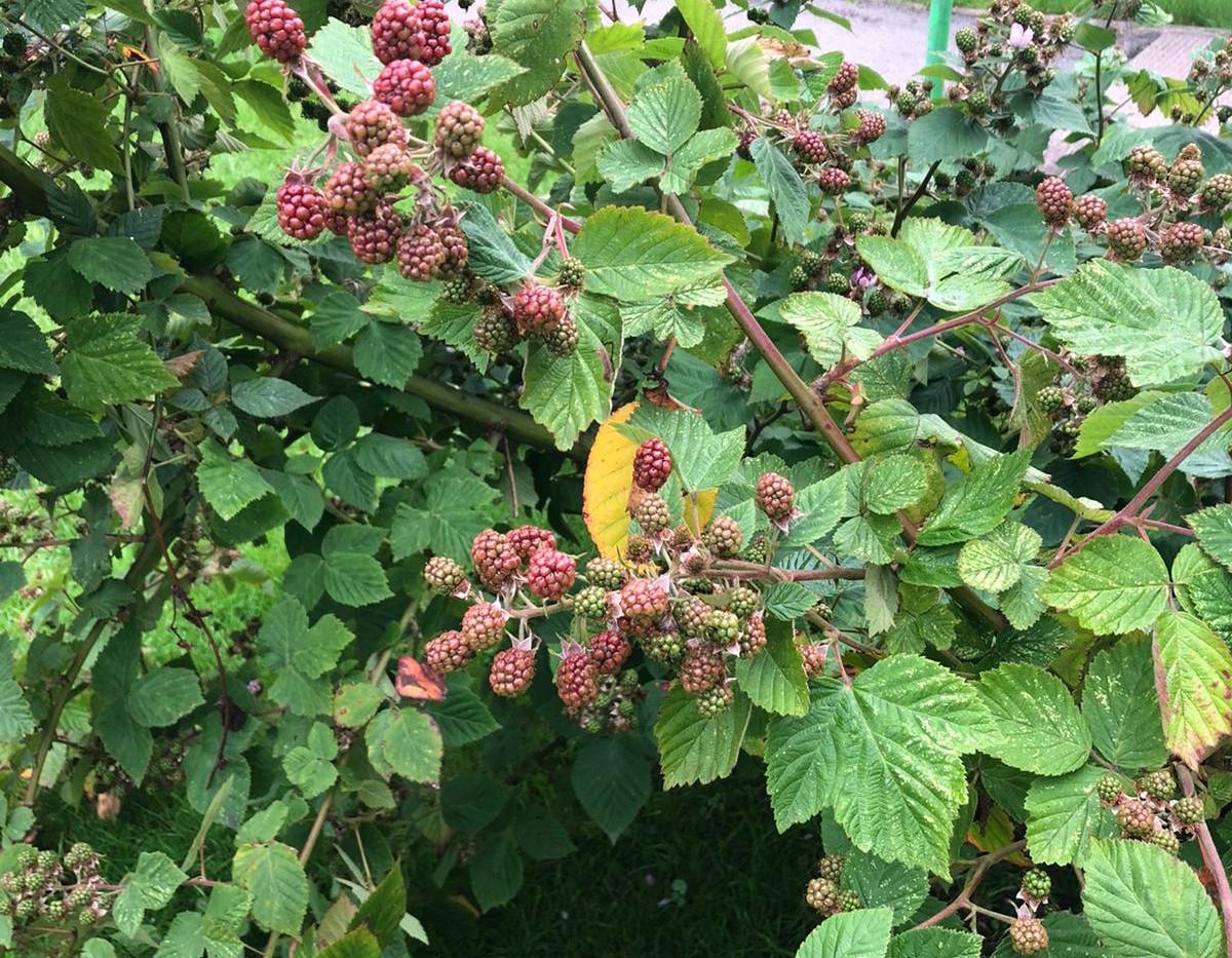 Berries getting ripe