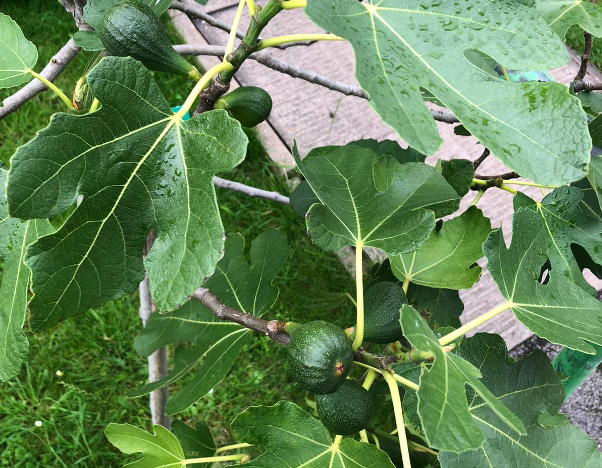 Figs are growing big on our Fig Tree