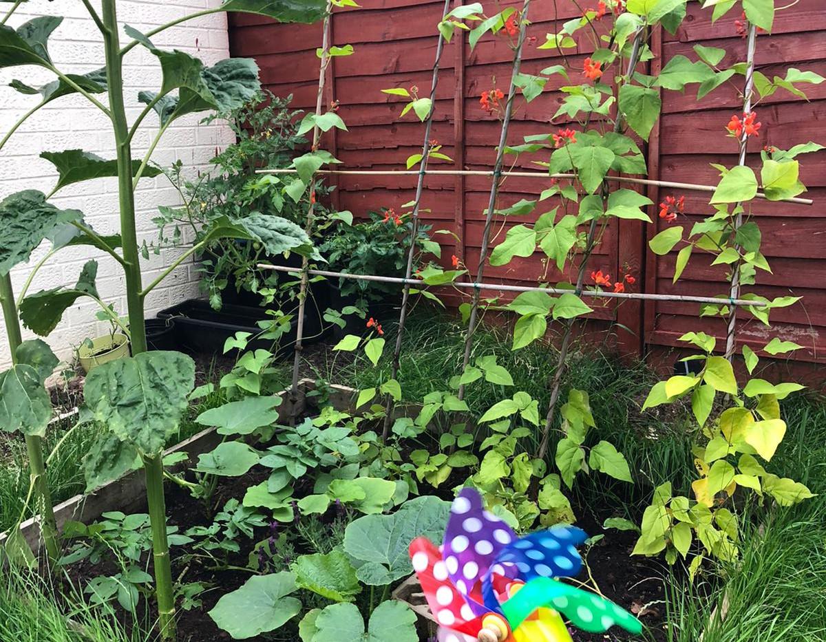 Runner beans and sunflowers