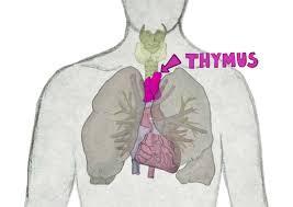 Thymus en immuniteit