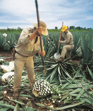 suiker of agave