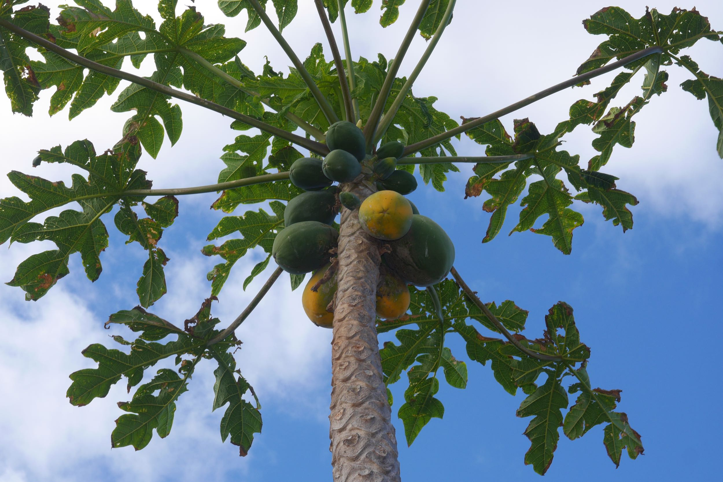 Papaya in our farm