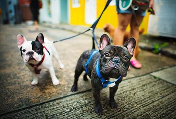 adorabe french bulldog haness training