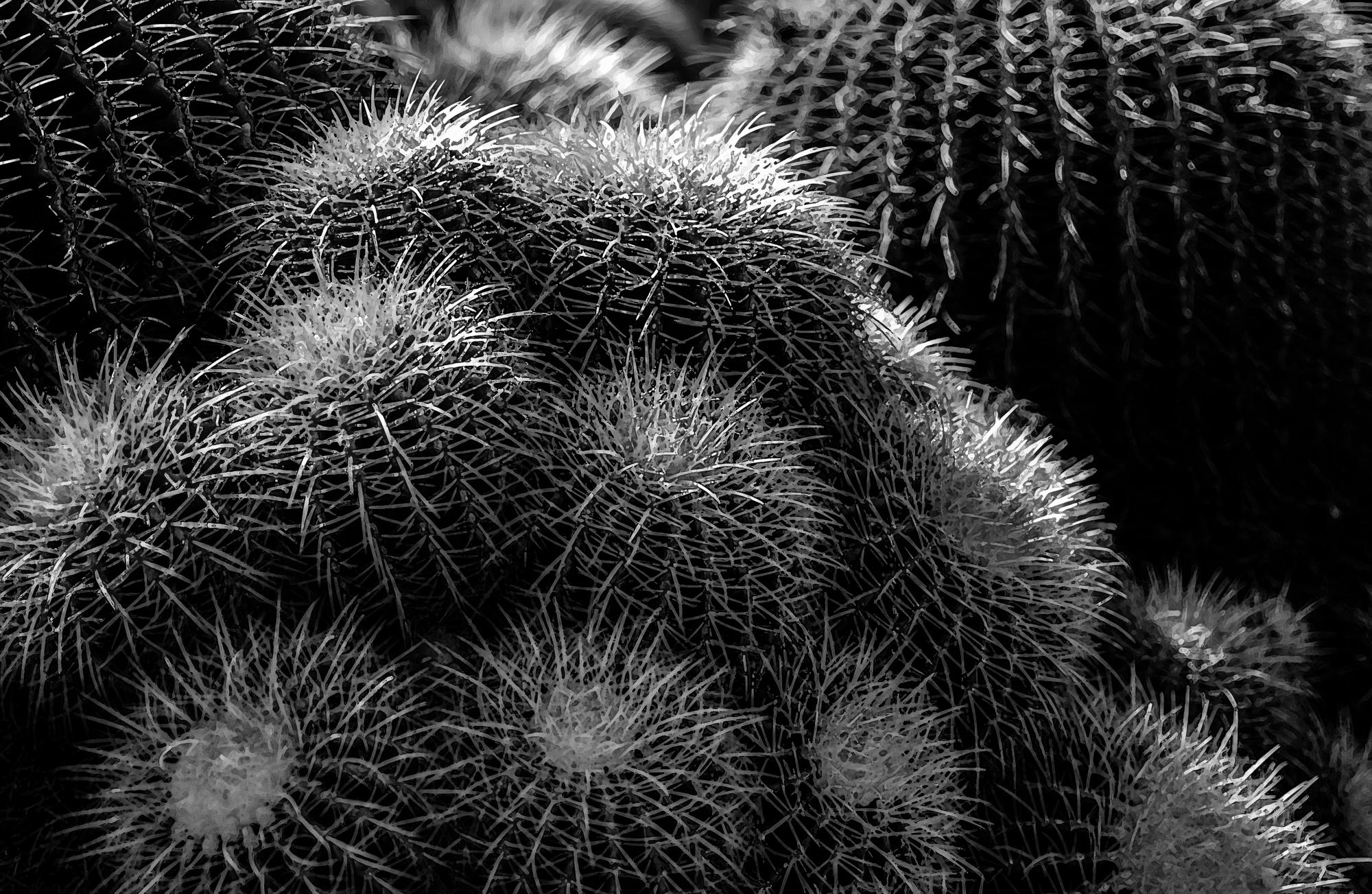 Baby Barrels-Cactus