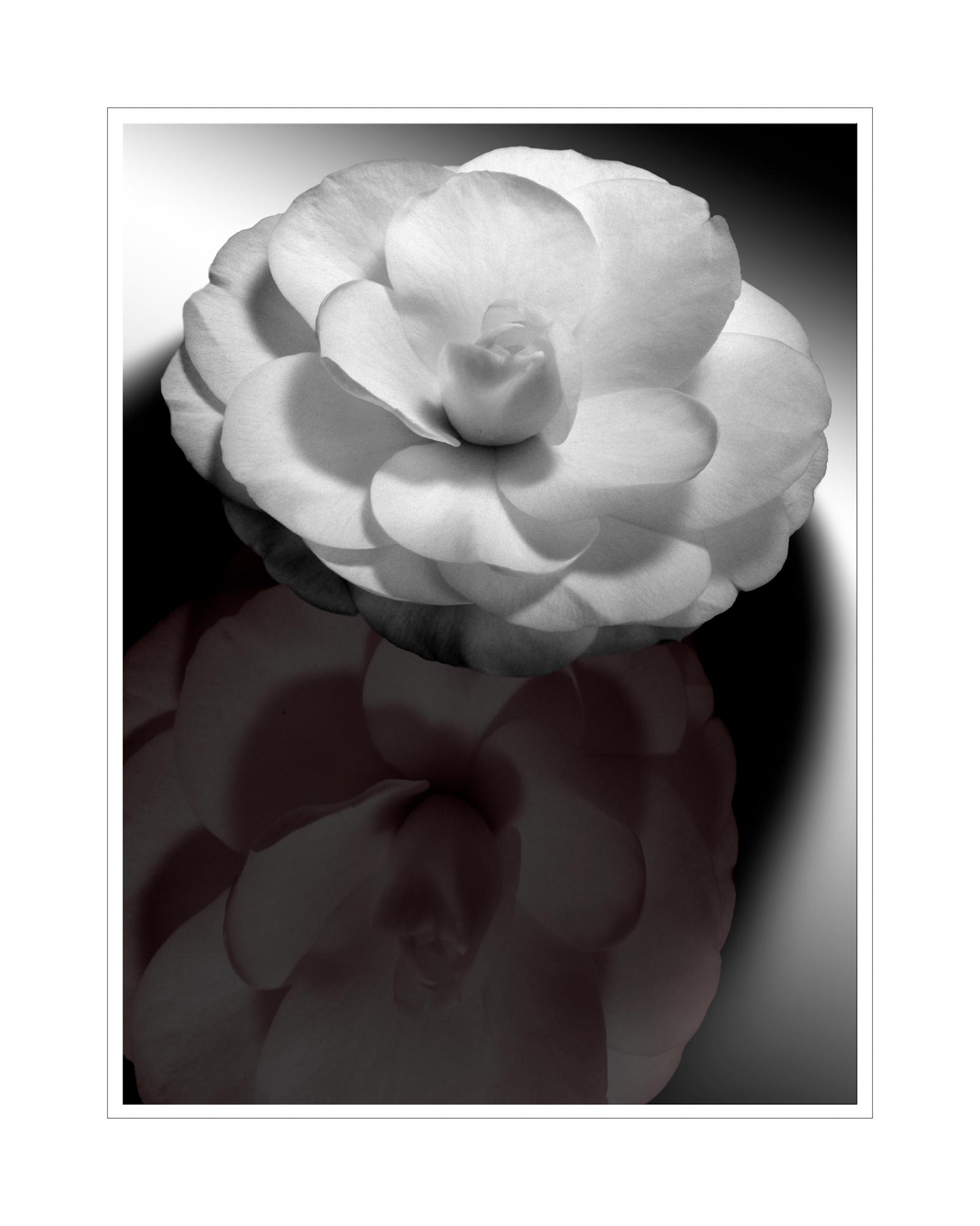 Camellia Reflection