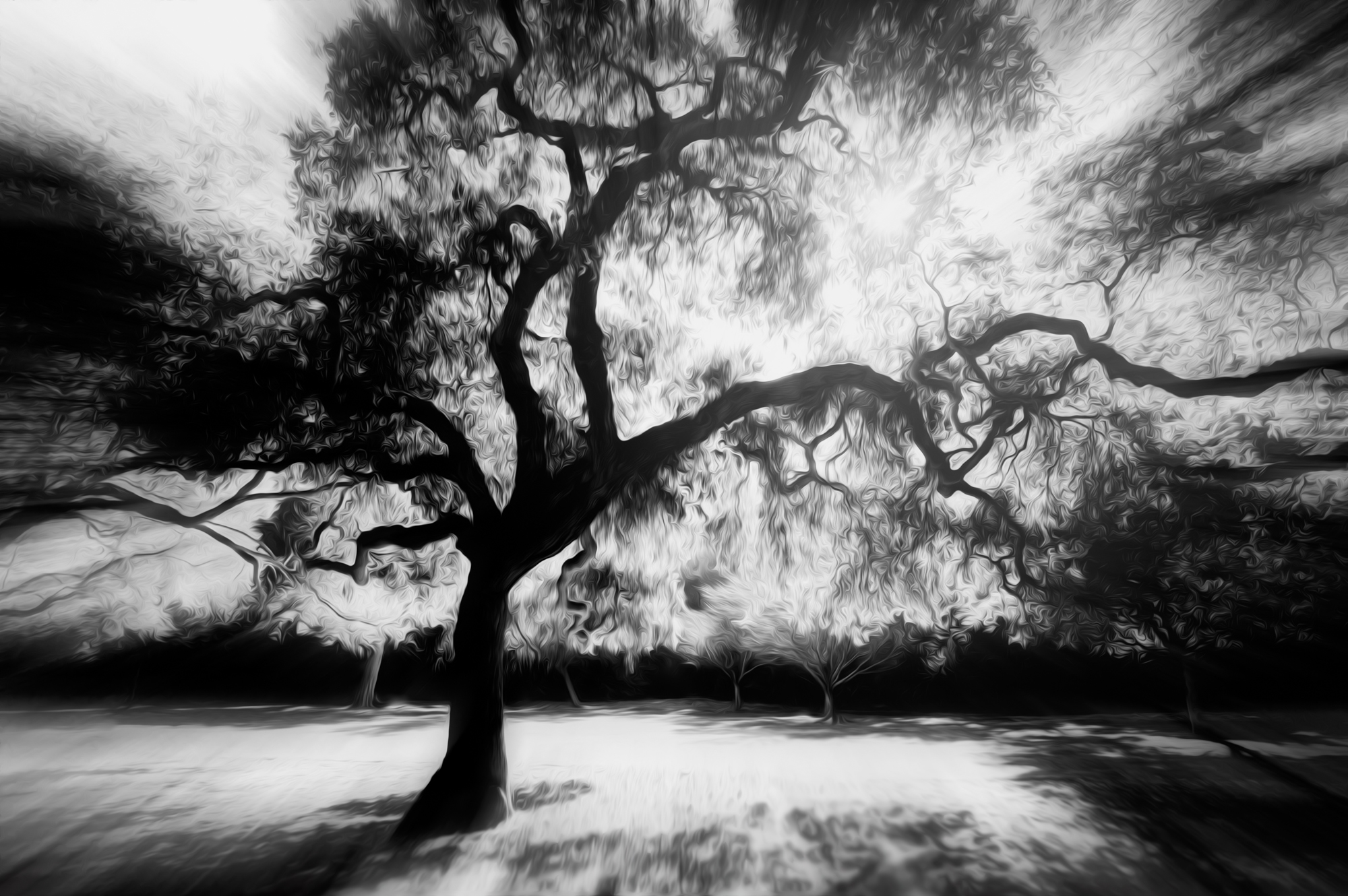 Descanso Oak