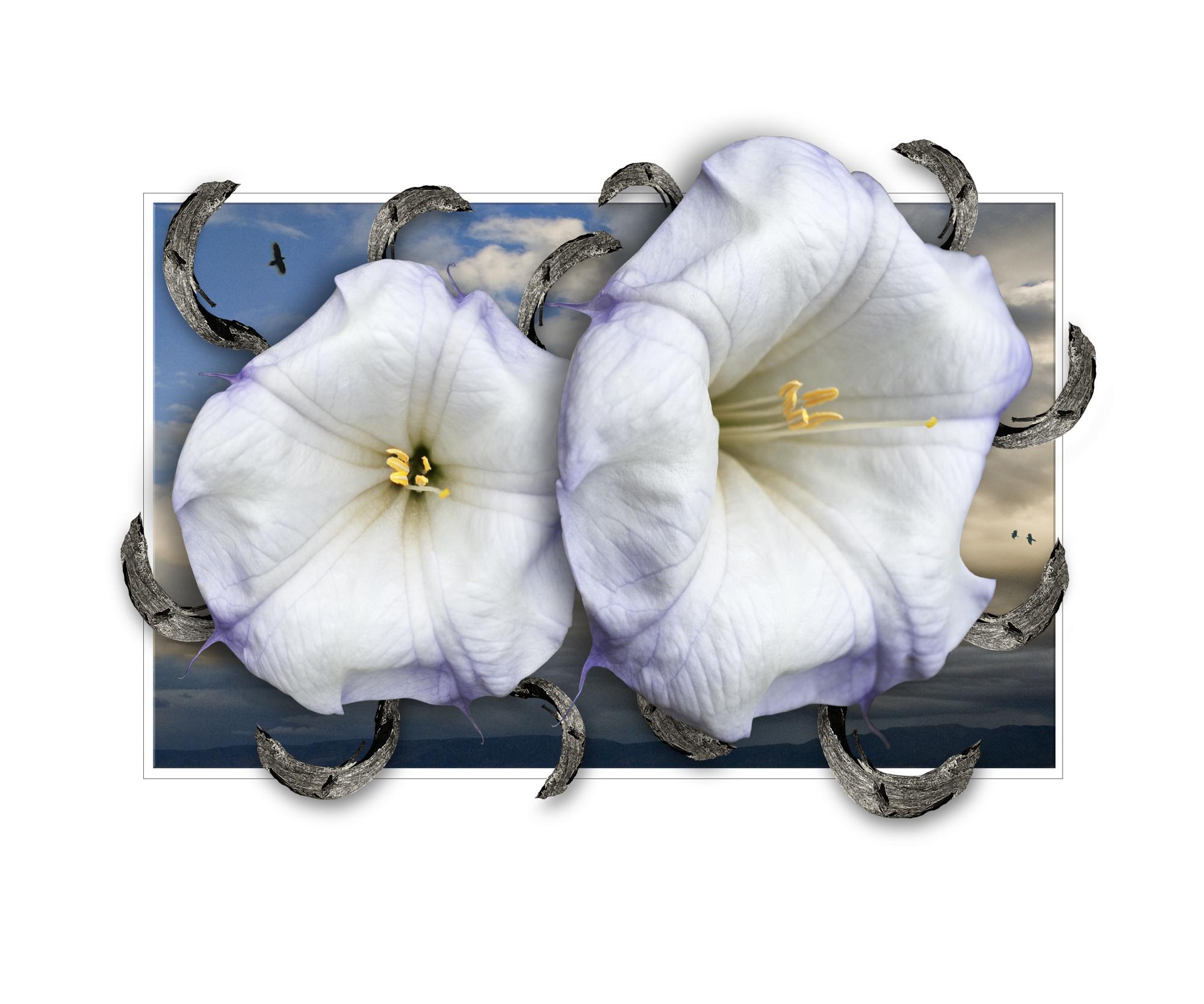 Flowers-For-Ms-Okeeffe-Datura