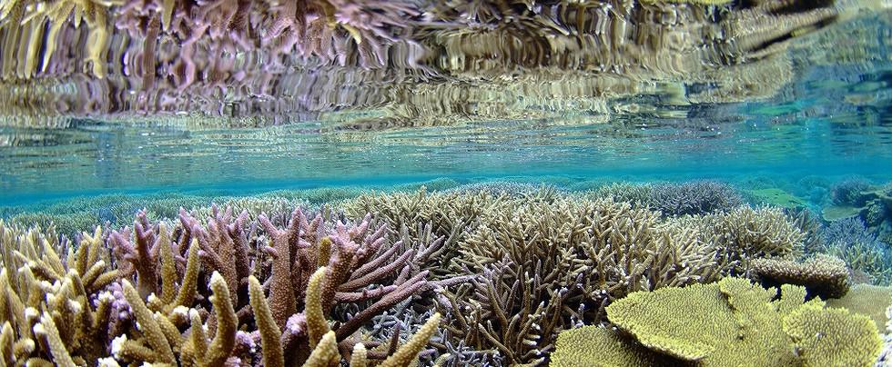 サンゴ反鏡