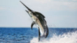 black-marlin-gulf-of-chiriqui.jpg