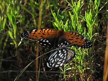 RegalFritillaries.jpg