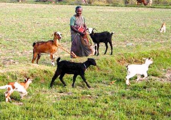 formation à l'élevage en inde par OFI
