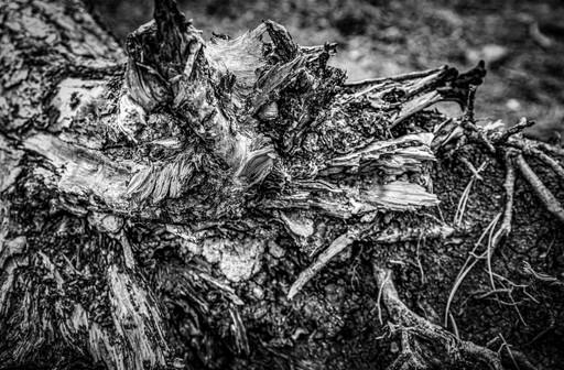 Tree-stump1L9A3852-BW.jpg