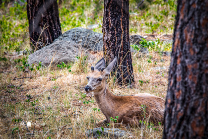Deer1L9A3811-SM.jpg