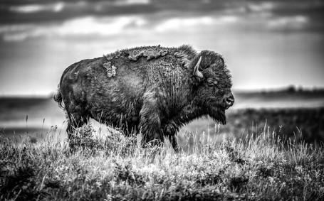 Buffalo1L9A3693-BW.jpg
