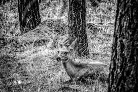 Deer1L9A3811BW-SM.jpg