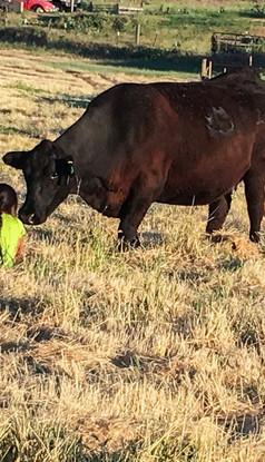 Low Stress Livestock Management