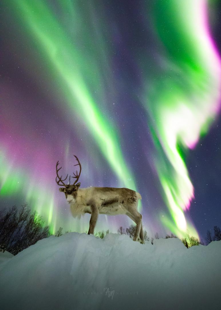 Reindeer under aurora II