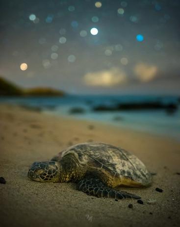 Honu Green Sea Turtle on Hawai'i's beach