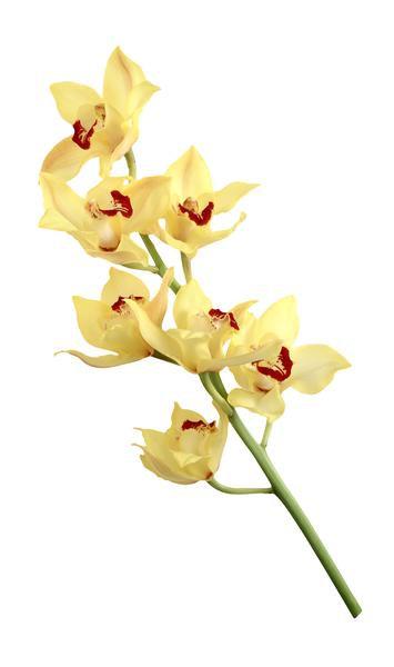 Orchids Cymbidiums