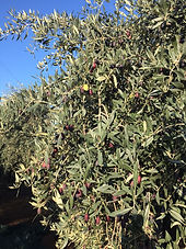 olive oil ready to harvest.JPG