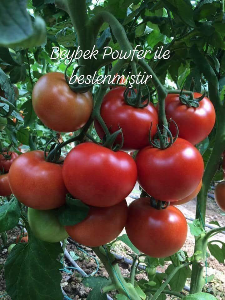 Beybek Powfer ile beslenmiş domatesler