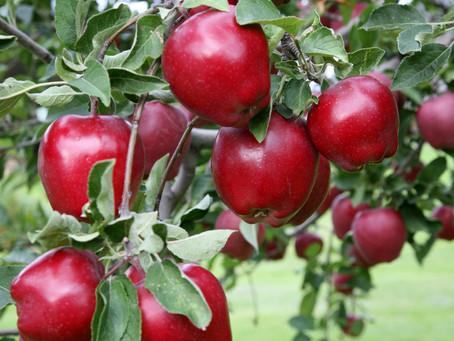 Beybek POWFER Organomineral Sıvı Gübrenin Meyve Ağaçlarına Uygulanması