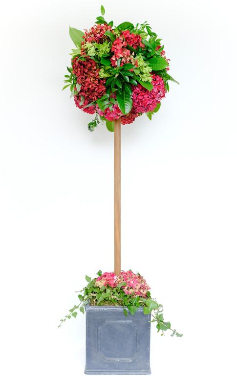 Hydrangea topiary tree